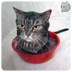 a que edad se puede bañar un gato