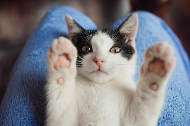 causas ronroneo de gatos
