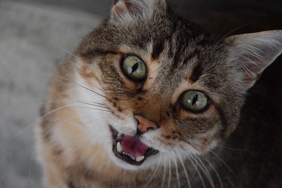 gato habla y maulla