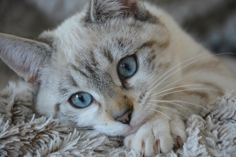 Porque los gatos amasan