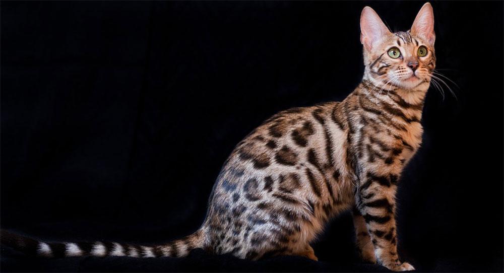 características gato bengalí