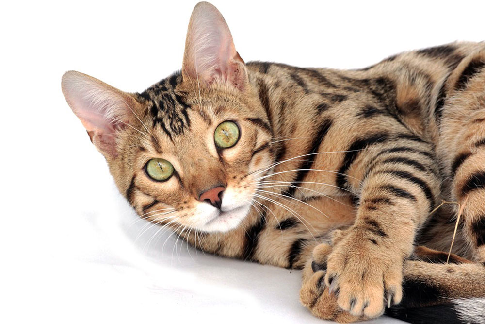 Gato toyger