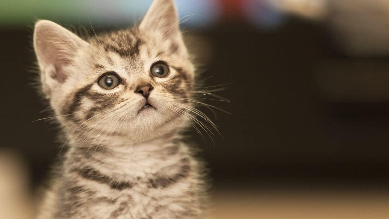 ¿Por qué los gatos maúllan para comunicarse con los humanos?