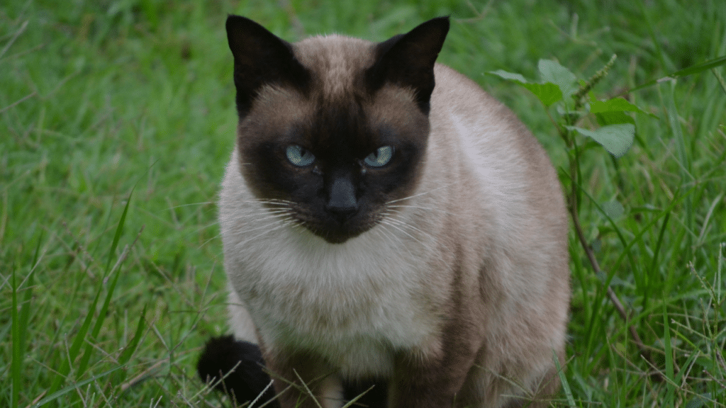 Soñé con gatos agresivos